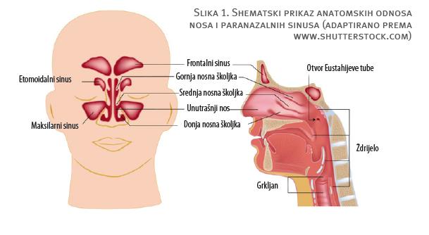 Shematski prikaz anatomskih odnosa nosa i paranazalnih sinusa - Littledot